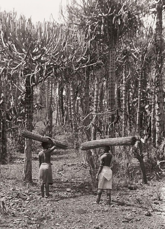 Pedi women carrying bundles of rushes through a Euphorbia forest.(Duggan-Cronin, 2007. Pg. 22, Plate 15)